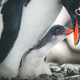 Close-up adult and baby penguins. Antarctica - PhotoDune Item for Sale