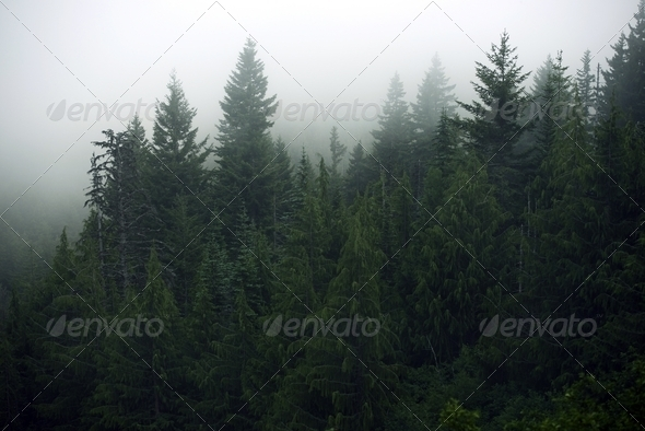 Foggy Forest - Stock Photo - Images