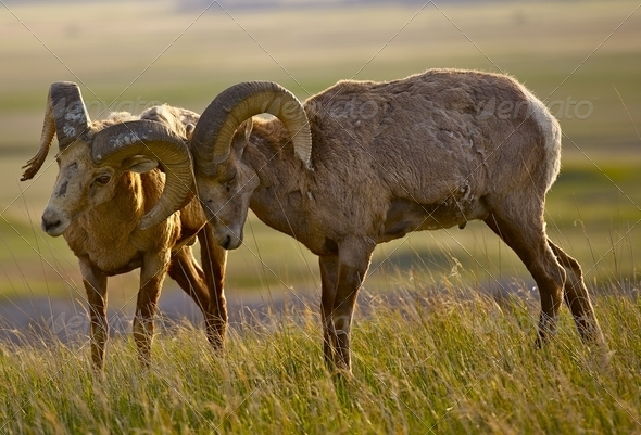 Bighorn Sheeps in Love - Stock Photo - Images
