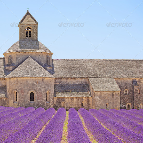 Senanque Abbey blooming lavender flowers detail. Gordes, Luberon, Provence, France. - Stock Photo - Images