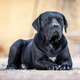 Black dog breed Cane Corso lies on the ground - PhotoDune Item for Sale