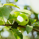Green apples on a branch in the garden in the glare of the sun - PhotoDune Item for Sale