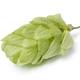 Single fresh green fruit common hop close up - PhotoDune Item for Sale