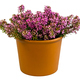 Isolated potted winter-flowering heather plant - PhotoDune Item for Sale