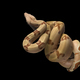 Snake red-tailed boa hanging on a branch isolated on black background - PhotoDune Item for Sale