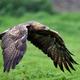 Golden eagle (Aquila chrysaetos) - PhotoDune Item for Sale