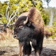 American bison in Yellowstone National Park. - PhotoDune Item for Sale