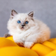 Ragdoll cat small kitten at home - PhotoDune Item for Sale