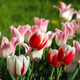 Beautiful red, pink and white tulips lit by the sun - PhotoDune Item for Sale
