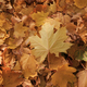 Autumn background from fallen leaves of maple tree - PhotoDune Item for Sale