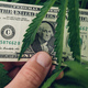 Cannabis Sativa grower proud of his cultivation business income profit showing US dollar cash money - PhotoDune Item for Sale