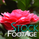 Flowers 15 FullHD Stock Footage H264 - VideoHive Item for Sale