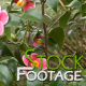 Flowers 16 FullHD Stock Footage H264 - VideoHive Item for Sale