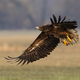 Young white-tailed eagle landing on field in autumn - PhotoDune Item for Sale