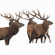 Bunch of red deer observing on snow cut out on blank - PhotoDune Item for Sale