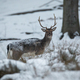 Fallow deer looking to the camera in forest in winter - PhotoDune Item for Sale