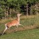 Carpathian deer in natural habitat - PhotoDune Item for Sale