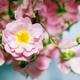 Pink rose flower bush - PhotoDune Item for Sale