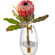 Isolated king protea flower in a glass vase - PhotoDune Item for Sale