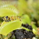 Bee-like fly insect approaching and being captured by Venus fly trap carnivorous plant - PhotoDune Item for Sale