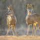 Two Roe deer on clearing - PhotoDune Item for Sale
