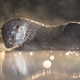 European Otter in shallow water at night - PhotoDune Item for Sale