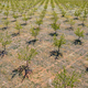 Aerial view of young Olive grove Spain - PhotoDune Item for Sale