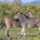 Two Common Zebra grooming in bushveld - PhotoDune Item for Sale
