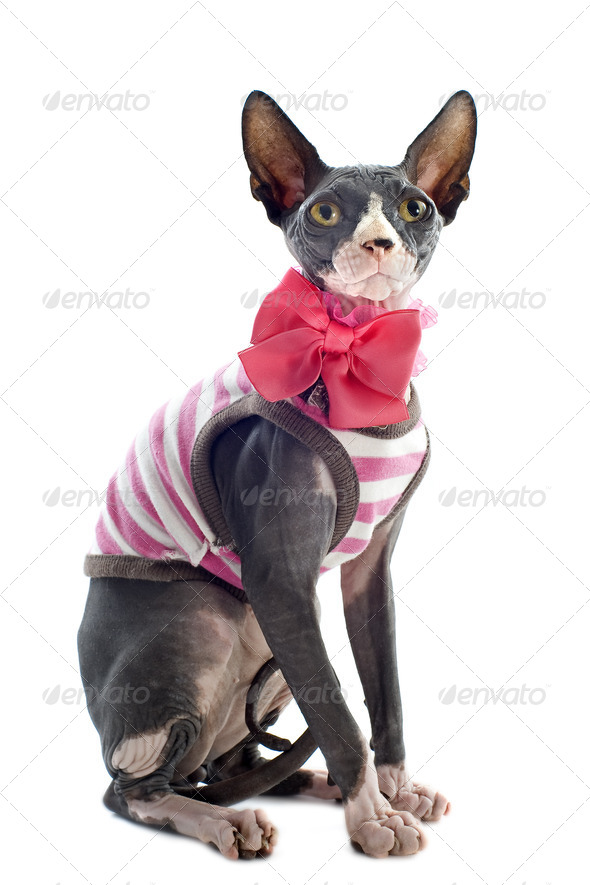 dressed Sphynx Cat - Stock Photo - Images