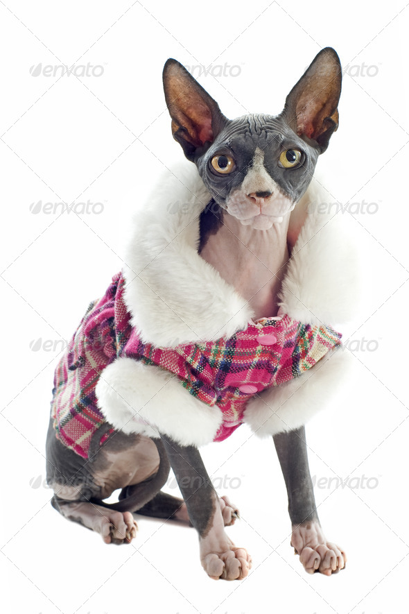 Sphynx Cat dressed - Stock Photo - Images