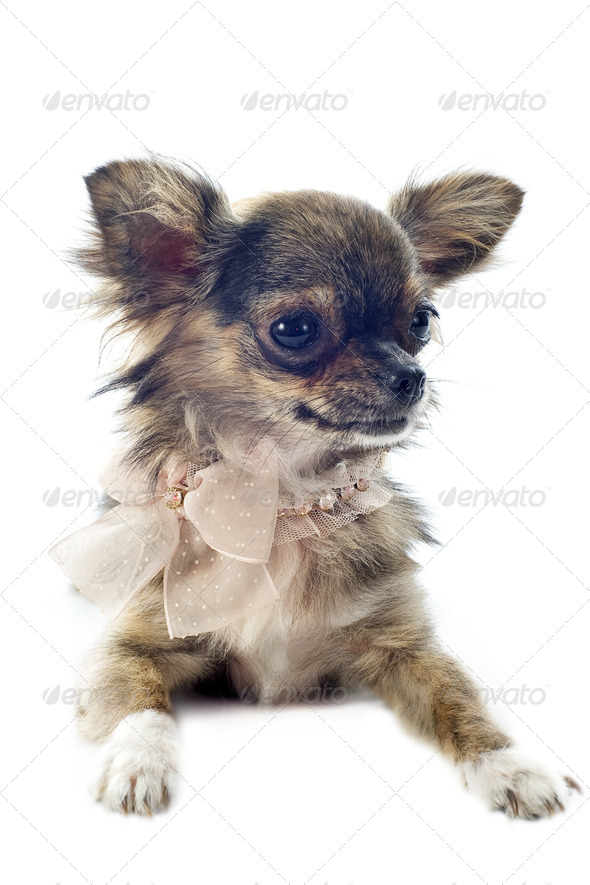 brindle chihuahua - Stock Photo - Images