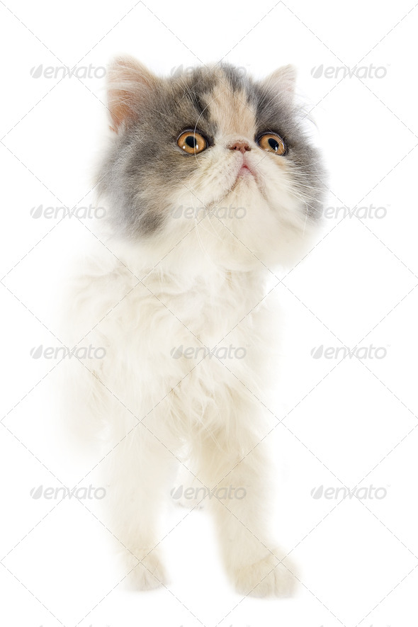 persian kitten - Stock Photo - Images