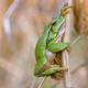 european tree frog - PhotoDune Item for Sale