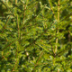 Natural evergreen branches with needles of Christmas tree in pine forest. Close-up view of holiday - PhotoDune Item for Sale