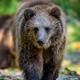Baby cub wild Brown Bear (Ursus Arctos) in the autumn forest. Animal in natural habitat - PhotoDune Item for Sale