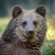Portrait baby cub wild Brown Bear in the autumn forest. Animal in natural habitat. Wildlife scene - PhotoDune Item for Sale