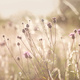 Thistle on a meadow during sunset - PhotoDune Item for Sale