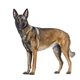 side view of a Malinois dog standing looking at the camera, Isolated on white - PhotoDune Item for Sale