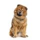 Portrait of reddish coated Chow Chow dog sitting - PhotoDune Item for Sale