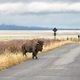 American bison walks on a road in Grand Teton National Park. - PhotoDune Item for Sale