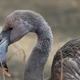 Portrait Of A Pink Flamingo In A Profile. - PhotoDune Item for Sale