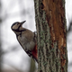 Great Spotted Woodpecker On A Looking For Food On A Tree. - PhotoDune Item for Sale