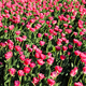 Beautiful crimson tulips lit by the sun in spring park - PhotoDune Item for Sale