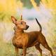 Brown Min Pin, miniature, pincher, Pinscher, Zwergpinscher Posing Outdoor In Sunny Summer Evening - PhotoDune Item for Sale