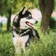 Husky Dog Sit In Summer Greeen Grass. Funny Lovely Pet Dog - PhotoDune Item for Sale