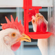 Close up of chicken hen drinking water in cage - PhotoDune Item for Sale