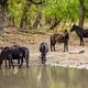 Wild horses drinking in Letea forest - PhotoDune Item for Sale
