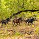 Wild horses in Letea forest - PhotoDune Item for Sale