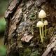 Three Bonnet Mushrooms on a Tree - PhotoDune Item for Sale