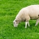 A Grazing Sheep in a Green Field - PhotoDune Item for Sale